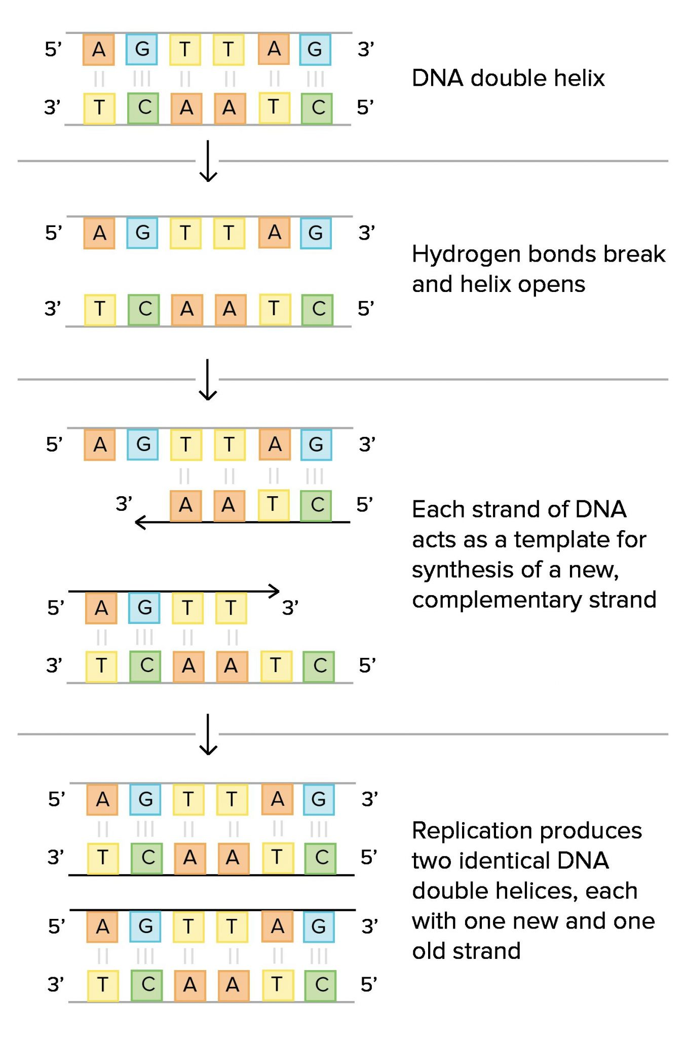 answer document for dna coloring